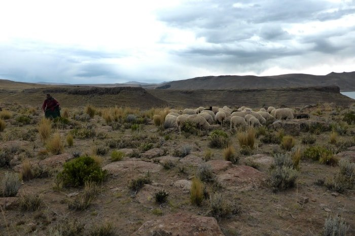 """alt=""""Pastora che governa il suo gregge sulle sponde del lago Titicaca"""""""