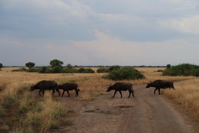 "alt=""Bufali che ci attraversano la strada al Queen Elizabeth National Park"""