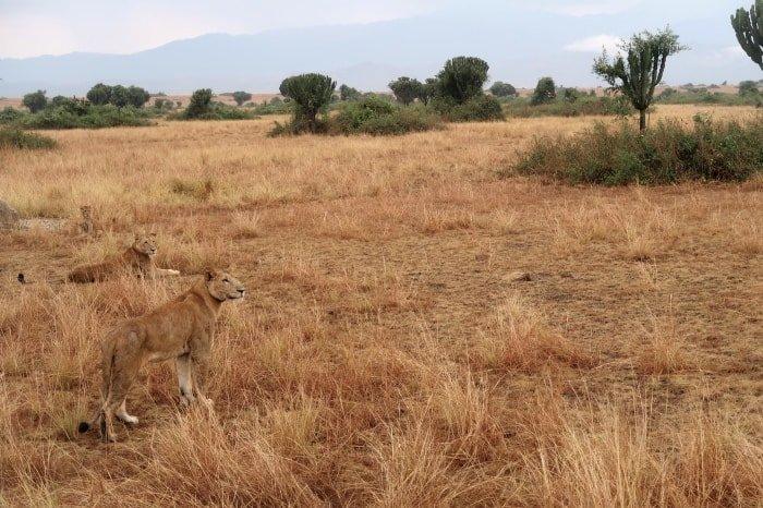 "al=""Due leoni del gruppo al Queen Elizabeth National Park"""