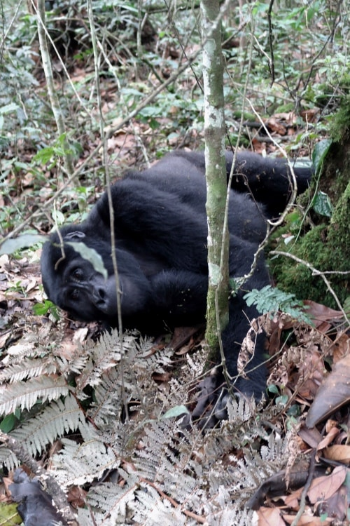 "alt=""Il Gorilla di Montagna al Bwindi Impenetrable Forest National Park"""