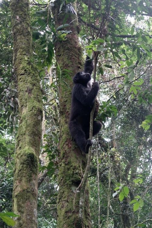 """alt=""""Incontro con i Gorilla di Montagna al Bwindi Impenetrable Forest National Park"""""""
